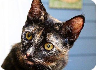 Domestic Shorthair Kitten for adoption in Los Angeles, California - Katrina
