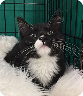 Maine Coon Kitten for adoption in Pasadena, Texas - Chloe