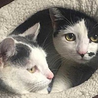 Adopt A Pet :: Nina And Belle-Bonded Sisters - New City, NY