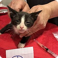 Adopt A Pet :: Kitten D - millville, NJ