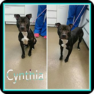 Pit Bull Terrier Mix Dog for adoption in Steger, Illinois - Cynthia