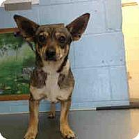 Chihuahua Mix Dog for adoption in San Bernardino, California - URGENT ON 4/14  San Bernardino