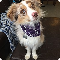 Adopt A Pet :: Harley (FORT COLLINS) - Fort Collins, CO