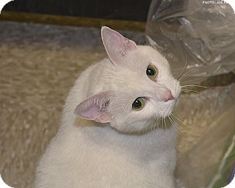 Domestic Shorthair Cat for adoption in Medina, Ohio - Snow