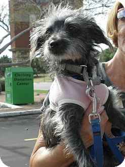Cairn Terrier Mix Puppy for adoption in Phoenix, Arizona - Carly