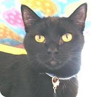 Domestic Shorthair Kitten for adoption in Miami, Florida - Polo