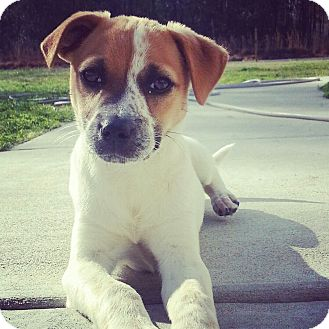 Jack Russell Terrier/Beagle Mix Puppy for adoption in North Brunswick, New Jersey - Lucy