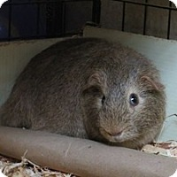Guinea Pig for adoption in Quilcene, Washington - Koonda