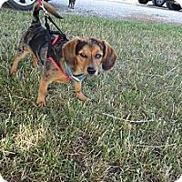 Adopt A Pet :: Sam - Chewelah, WA