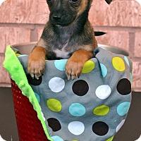 Adopt A Pet :: Carlos - Bridgeton, MO