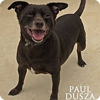 Chihuahua/Miniature Pinscher Mix Dog for adoption in Dallas, Texas - Charlie