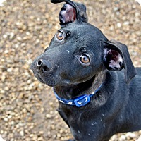 Adopt A Pet :: Auggie - Meridian, ID