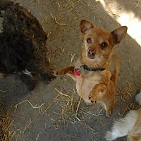 Chihuahua Mix Dog for adoption in Pt. Richmond, California - CHICO