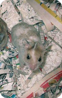 Hamster for adoption in Bensalem, Pennsylvania - Evee