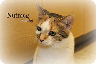 Calico Cat for adoption in Glen Mills, Pennsylvania - Nutmeg