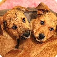 Adopt A Pet :: Snickerdoodle - Mt. Prospect, IL