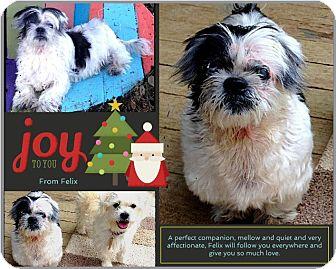 Shih Tzu/Pekingese Mix Dog for adoption in Bastrop, Texas - Felix