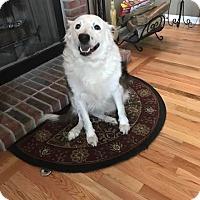 Adopt A Pet :: Bear - Naperville, IL