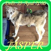 Adopt A Pet :: JASPER - Halifax, NS