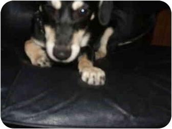 Dachshund/Chihuahua Mix Dog for adoption in SCOTTSDALE, Arizona - Yoyo