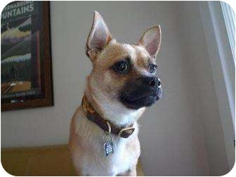 Chihuahua/Pug Mix Dog for adoption in Los Angeles, California - Bravo - NEEDS A FOSTER HOME!