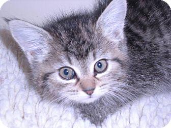 Domestic Mediumhair Kitten for adoption in New Castle, Pennsylvania - Sassy
