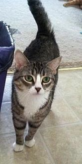 Domestic Shorthair Cat for adoption in Medford, New Jersey - Belle