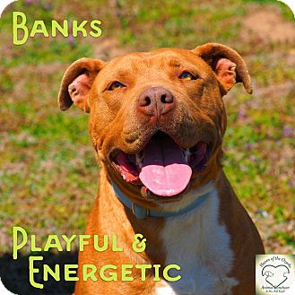 Pit Bull Terrier Dog for adoption in Washburn, Missouri - Banks