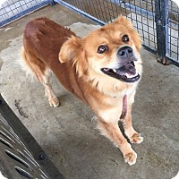 Chow Chow/Shepherd (Unknown Type) Mix Dog for adoption in Lewisburg, Tennessee - Bella