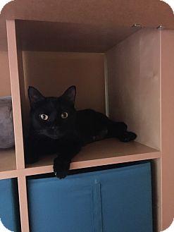 American Shorthair Cat for adoption in Westland, Michigan - Sunshine