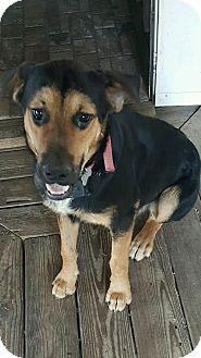 Labrador Retriever/German Shepherd Dog Mix Dog for adoption in Foster, Rhode Island - Buddy