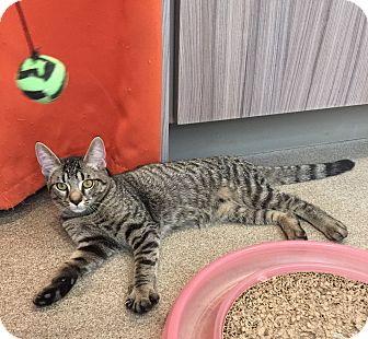 Domestic Shorthair Kitten for adoption in Peace Dale, Rhode Island - Raymond