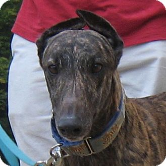 Greyhound Dog for adoption in Oak Ridge, North Carolina - Louie