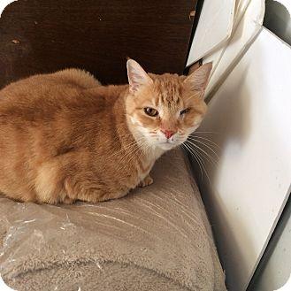 Domestic Shorthair Cat for adoption in Mt Pleasant, Pennsylvania - Jolly Roger (JK)