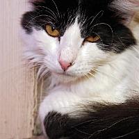 Adopt A Pet :: Storm - Tucson, AZ