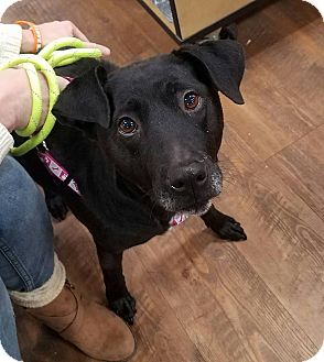 Labrador Retriever Mix Dog for adoption in Laingsburg, Michigan - Lexie the Lab