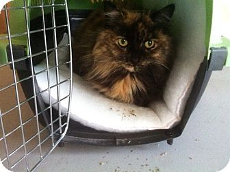 Maine Coon Cat for adoption in Huntington Station, New York - MADELINE