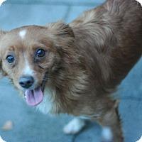 Adopt A Pet :: Thad - Canoga Park, CA