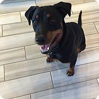 Adopt A Pet :: Briana - Gilbert, AZ
