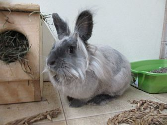 Lionhead Mix for adoption in Newport, Delaware - Jessa