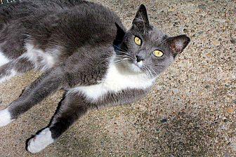 Domestic Shorthair Kitten for adoption in Central Islip, New York - Wesley