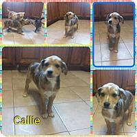 Adopt A Pet :: Callie pending adoption - Manchester, CT
