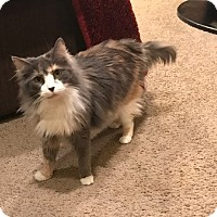 Adopt A Pet :: Shoe - Stafford, VA