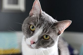 Domestic Shorthair Cat for adoption in Los Angeles, California - Jax