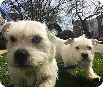 Terrier (Unknown Type, Small)/Westie, West Highland White Terrier Mix Dog for adoption in Chicago, Illinois - Etta and Nette