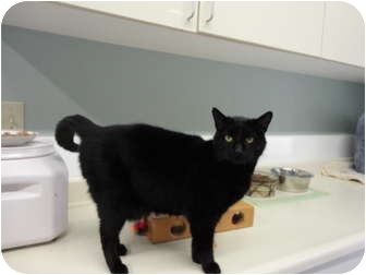 Domestic Shorthair Cat for adoption in Kingston, Washington - Pele