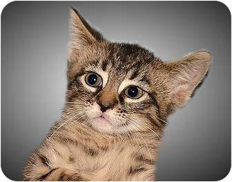 Domestic Shorthair Kitten for adoption in Montgomery, Illinois - Connor