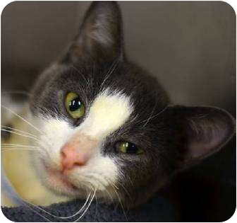 Domestic Shorthair Cat for adoption in Oxford, Connecticut - Bella