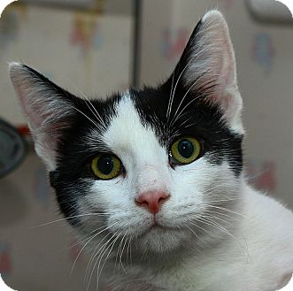 Domestic Shorthair Kitten for adoption in Lombard, Illinois - Ringo