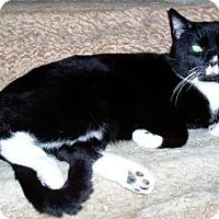 Domestic Mediumhair Cat for adoption in Columbus, Ohio - Timber